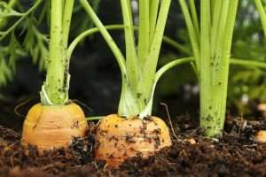 How Hydroponics Can Help You Grow Bulbs, Tubers and Root Crops | Root Grow Bloom