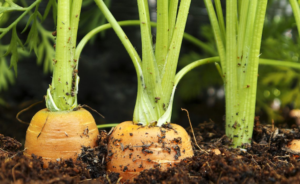 How Hydroponics Can Help You Grow Bulbs, Tubers and Root Crops   Root Grow Bloom
